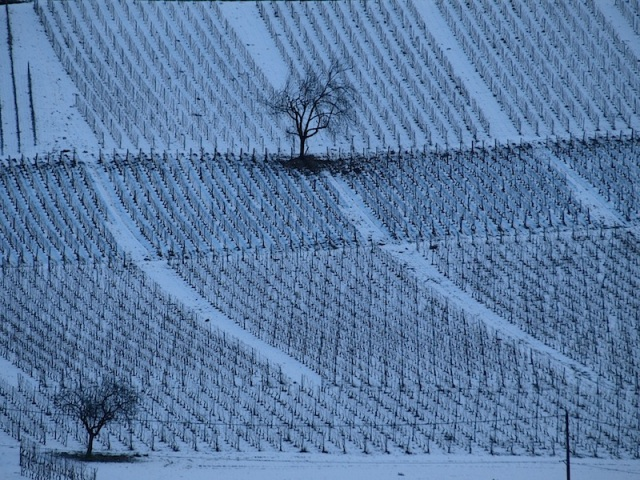 Grape vines in hibernation. In most fields there is a lone tree, left there for the workers to rest under.