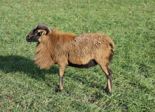 Goat or sheep?