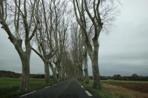 An avenue of wonderful Plane trees.
