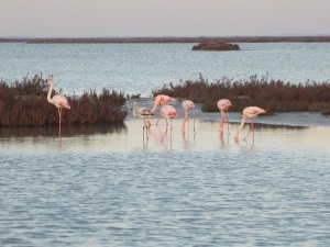 Our first sighting of flamingos in the wild.