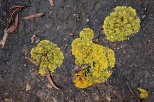Some lichens look like paint smears, others are forest-like.