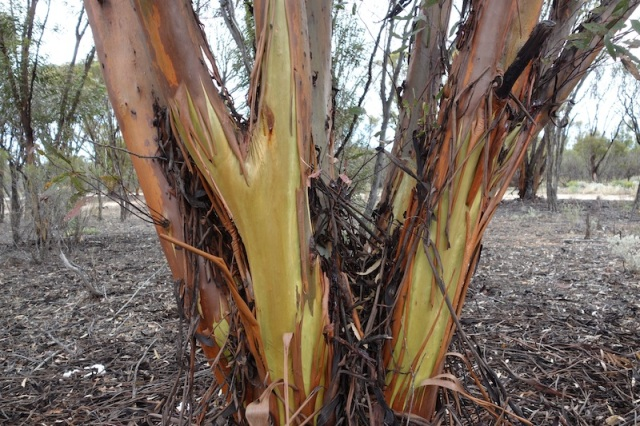 Eucalypt near our morning tea stop today. The colourful wet bark is similar to the rainbow gum.