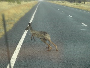 A near miss. After a dry spell kangaroos come to the road to drink from puddles. This one is not in the best of condition.