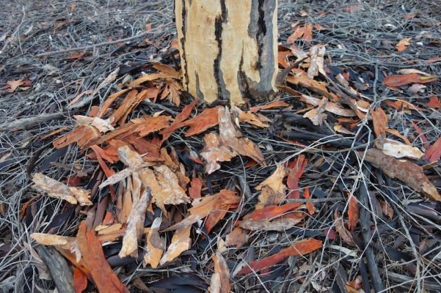 Fallen gum bark.