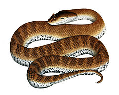 Death Adder. Easily identified as they have an an almost parallel body tapering suddenly to a stumpy tail.