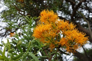 Flowers of the parasitic Nuytsia floribunda; the West Australian Christmas tree.