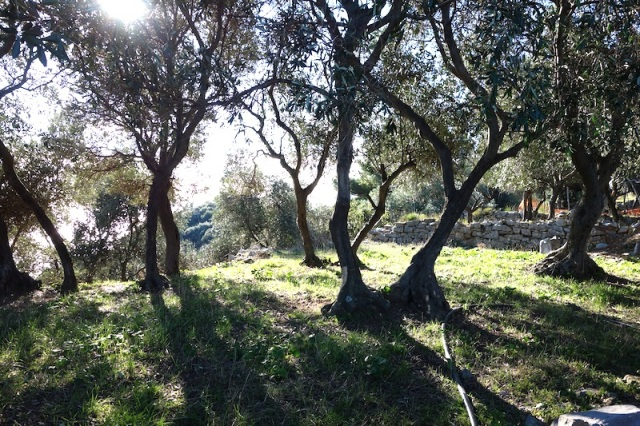 Olive grove on the way down to Porto Venere.