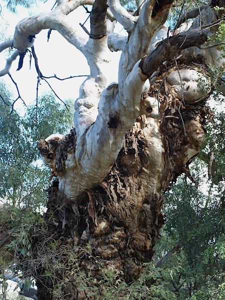 River Red gum. This specimen is more than 500 years old.