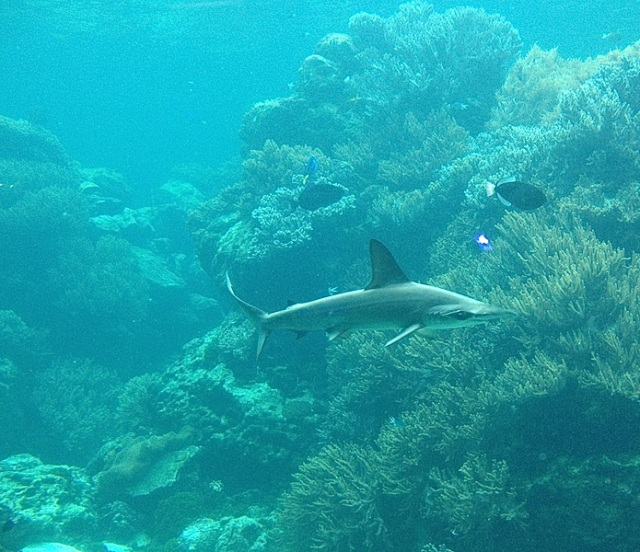 Along the edge of a drop off. Son Tim took this photograph of the tiger shark on one of his many undersea forays.