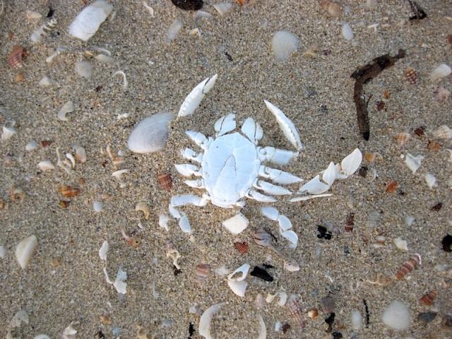 Crab skeleton waiting to be fossilised.