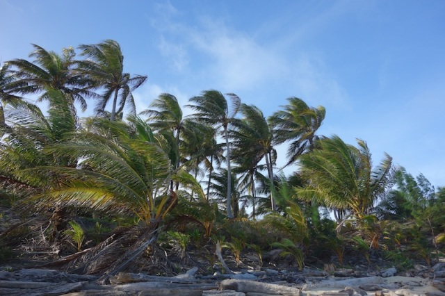 Coconut palms on the high end of Poruma.