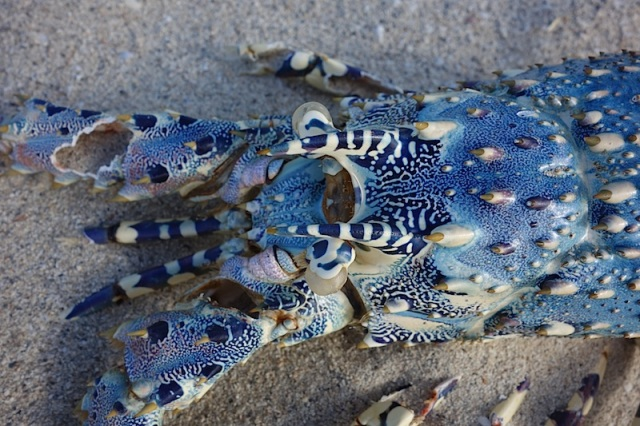 Skeleton of a Coconut Island crayfish.