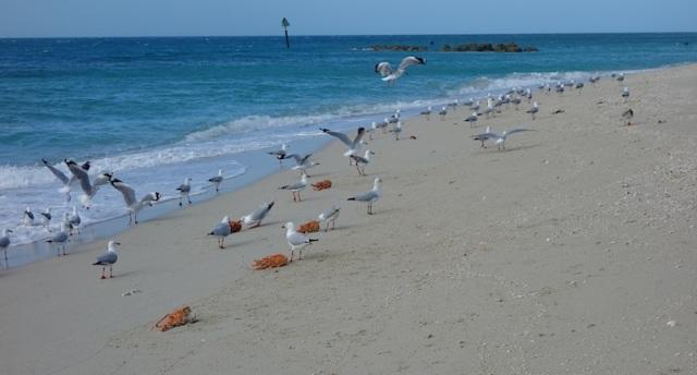 Seagulls feasting on crayfish frames.