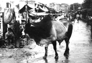 A sacred cow and poverty on the streets in India