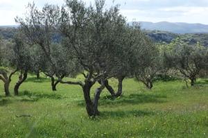 Descendants of Athena's olive tree.