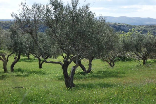 Descendants of Athena's olive tree.