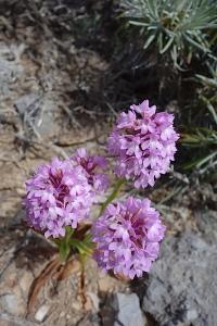 Pyrimidal orchid.  Anacamptis pyramidalis