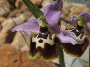 Ophrys episcopalis, one of the miniature orchids growing out of the road gravel. About 12mm across.