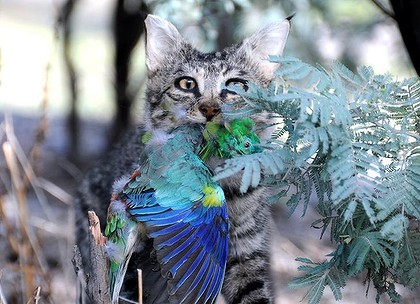 A sneaky feral cat, with one of our beautiful parrots. Image courtesy of Sydney Morning Herald.