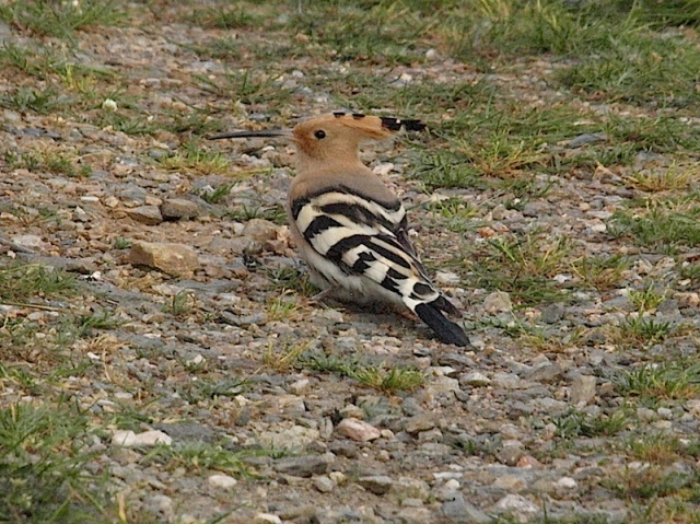 The Hoopoe, another species lucky to have survived