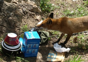 Mrs Fox checking out our kitchen.
