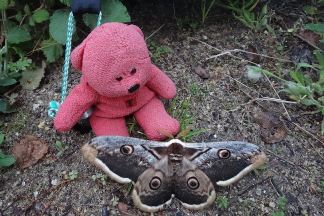 Tbear found a friend at the campsite. One of the Hawk moth family, approximately 100mm across the wings.