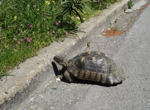 A tortoise taking a chance.