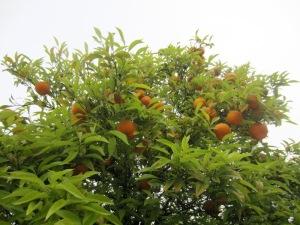 29 orange tree