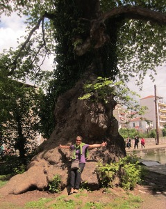 One of the gigantic plane trees in the park in Drama.