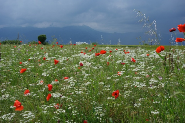 Red poppies and the mountains towards Bulgaria.
