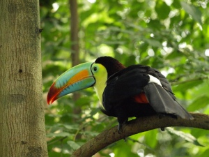 Toucan hopping around the Papiliorama jungle.