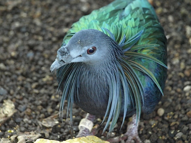 Nicobar pigeon (Caleonas nicobarica)