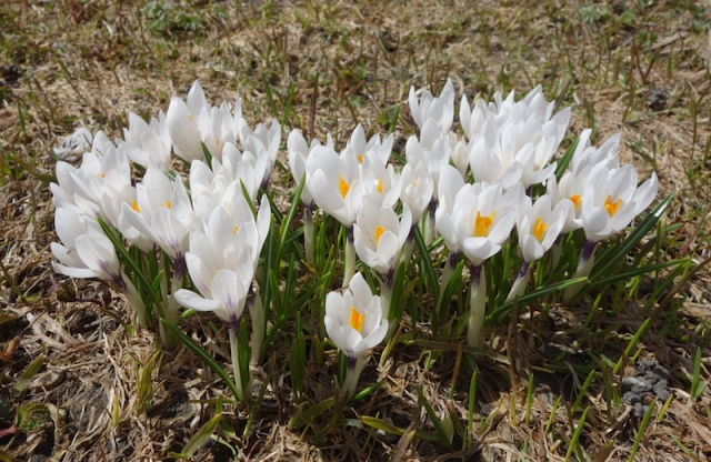 The first alpine plants to emerge as soon as the snow cover disappears are the crocuses.