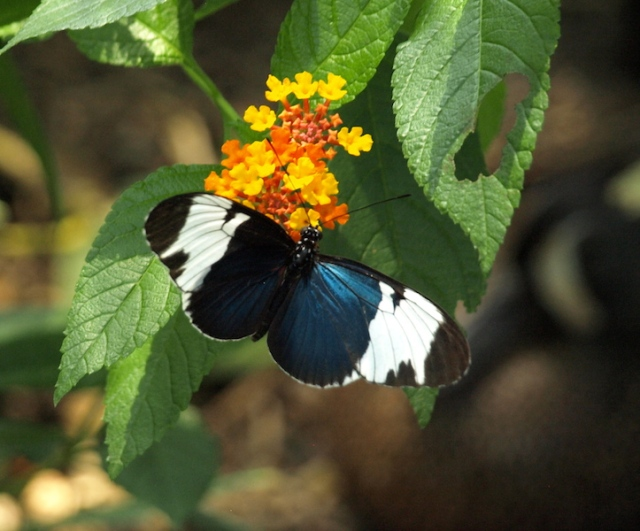 Another one for Mick to identify. The butterfly here is perched on a Lantana bush.