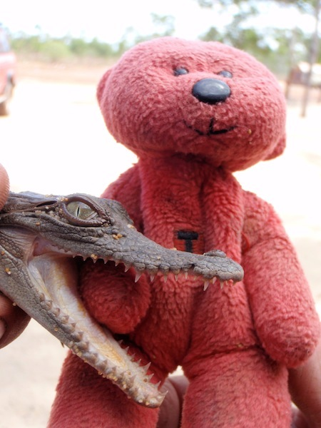 A baby crocodile having a nibble on Tbear, Groote Eylandt, northern Australia.
