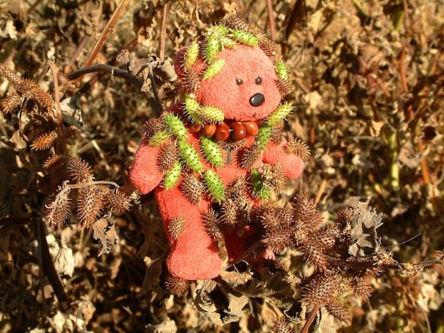 Tbear caught in a patch of Noogurra burr seed pods.