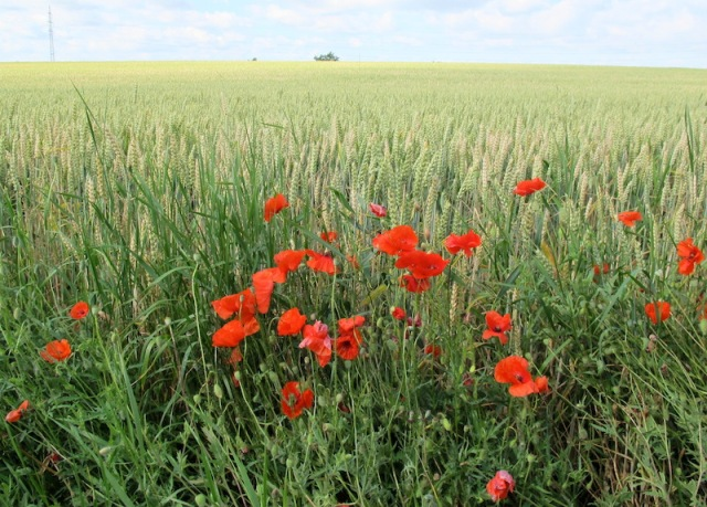 Wheat and the dreaded Flanders poppy. The Flanders poppy is considered a contaminant in field crops.