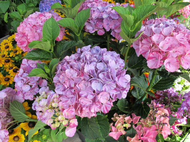 Hydrangeas. This particular flower seems to grow especially well in the northern part of Germany.