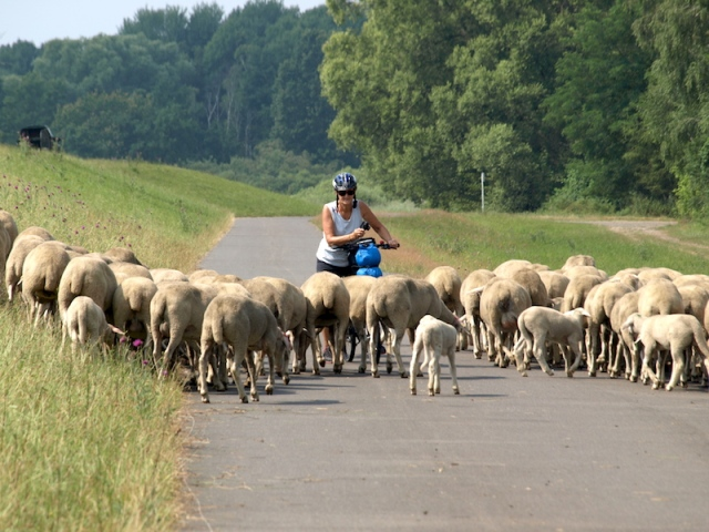 Bev pushing again, this time through a mob of Border Leicester cross sheep.