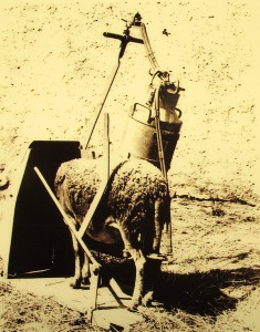 Milking machine of a past era.  Modern machines milk a hundred sheep at a time.