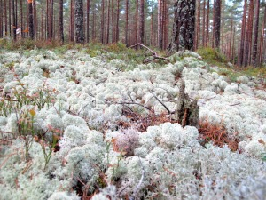 Red pine trees and sphagnum.