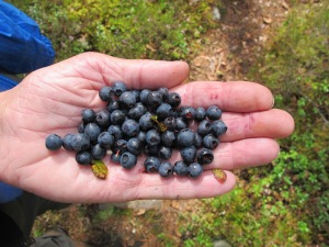 Javeron blueberries