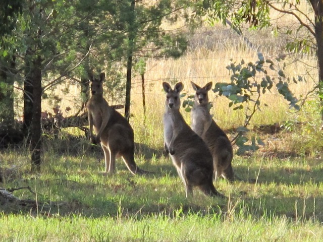 Three of our friends (Eastern grey kangaroos) came to our house this morning to wish us well at the start of Encountering the Past Part 3.