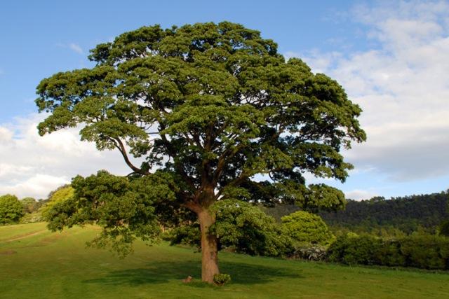 English oak, Quercus robur. Image credit: inhabit.com