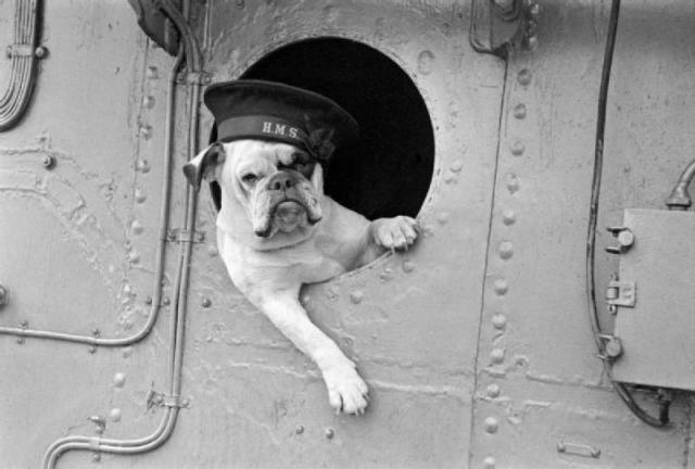 The layback but ready for action bulldog Venus, mascot of the destroyer HMS Vansittart 1941. Image credit: Lt H W Tomlin Royal Navy official photographer.