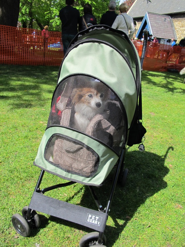 The one and only Papillon in its custom built stroller at the Wanstead dog show.