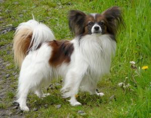 A Papillon in its prime.  Image credit: Gvdmoort.