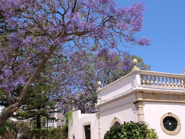 Jacaranda in bloom.