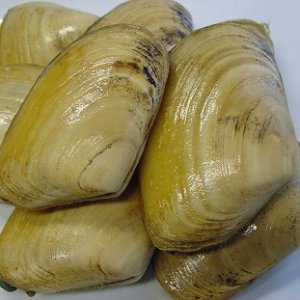 The Grooved Carpet shell.   Image credit Wikipedia.
