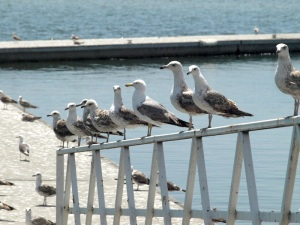 Seagulls of northern climes.